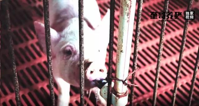 奎哥养猪第38期:断奶小猪生长过程中,3个方法加快增重!