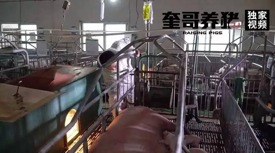 奎哥养猪54期:高温还在继续,这一招快速解决热应激!