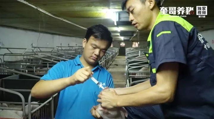 奎哥养猪59期:滴鼻器在猪场的4个妙用,保你一个都想不到!