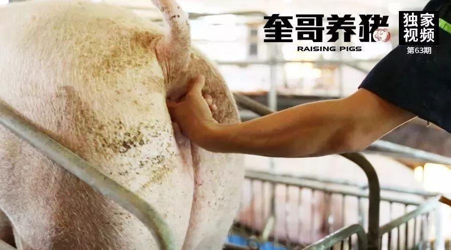 奎哥养猪63期:母猪便秘难解决?其实一根水管就能搞定!
