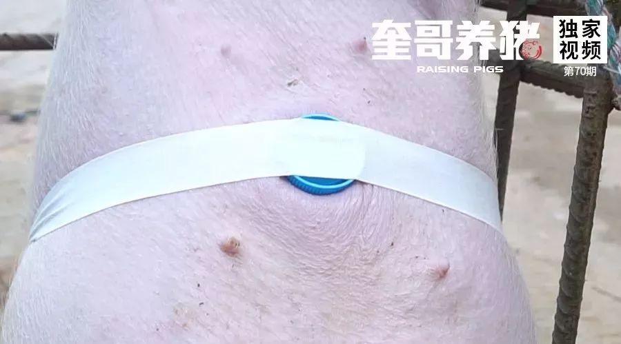 奎哥养猪70期:脐疝修复不用手术就能搞定!一卷胶带轻松解决