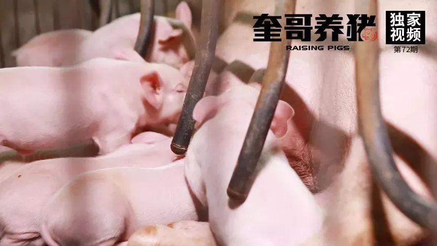 奎哥养猪72期:仔猪腹泻真无药可救?正确护理四部曲带来福音....