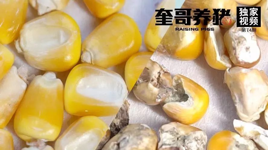 奎哥养猪74期:玉米成本不可控?教你4招,快速鉴别玉米优劣