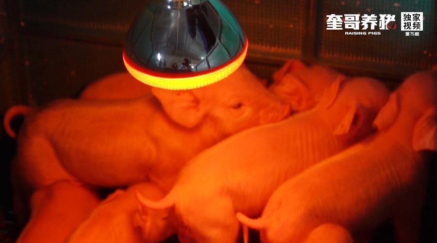 奎哥养猪丨冬季仔猪保温4步法,选好这个工具很重要!