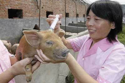 猪疫苗同步免疫方法研究