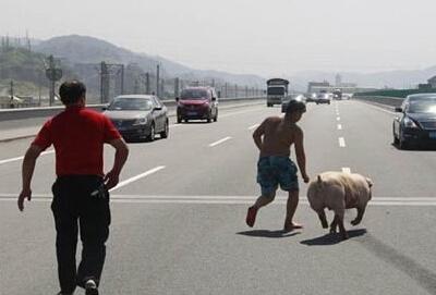 高速上掉落了一头猪 竟然冒出两失主