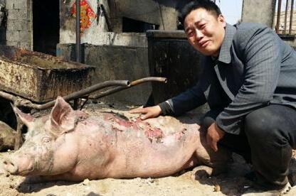 山东齐河:一场大火 四五十头猪被烤焦