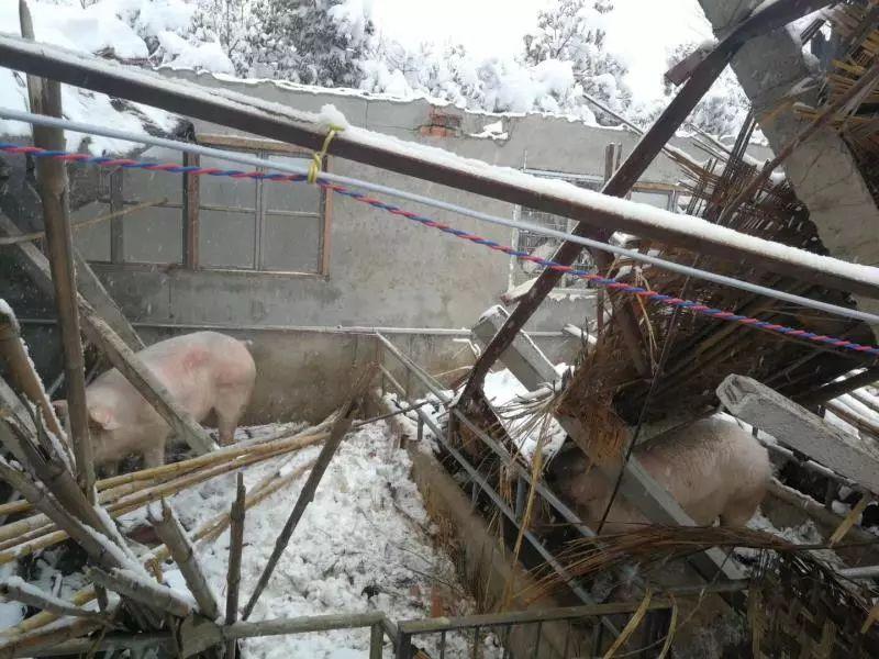 揪心!多地猪场遭受暴雪灾害,会对猪价走势产生影响吗?
