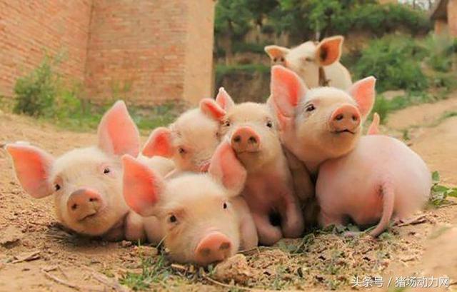 秋冬季节猪场疫病防控要点!做好这些很重要....