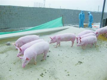 丹麦养猪业计划减少使用抗生素