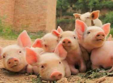 生猪产业陷五大弊端 散养户难逃此劫?