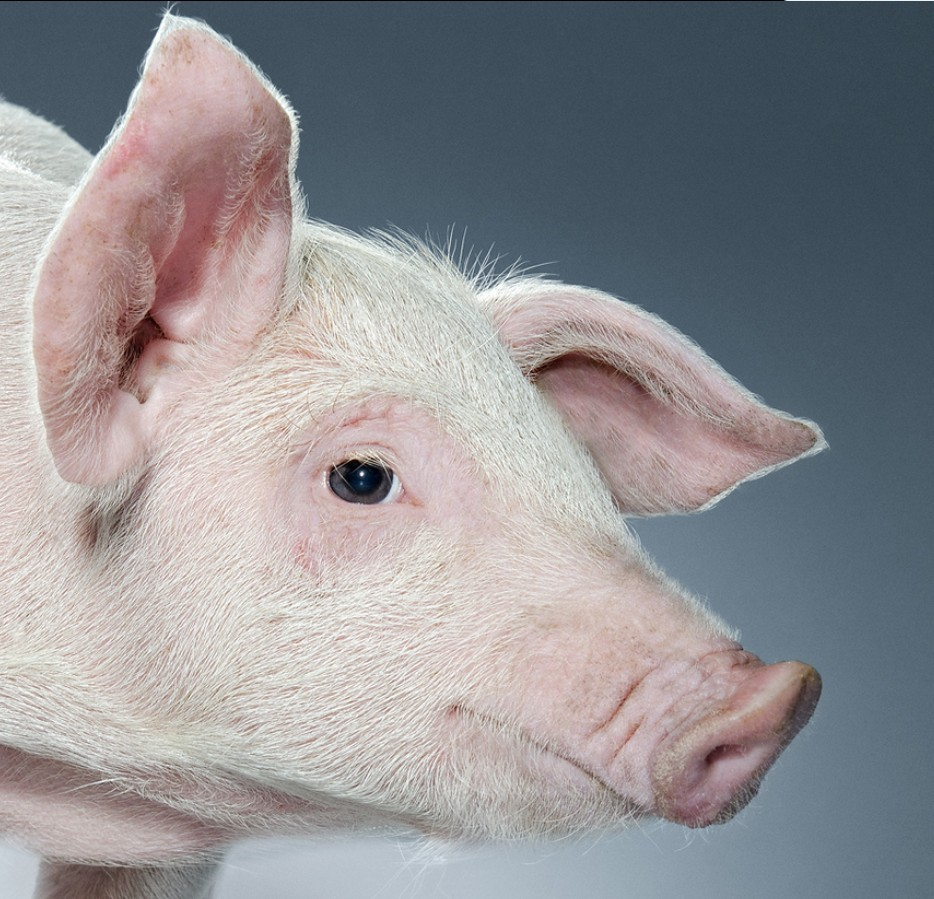 丰泽农牧为您解密2015首届国际种猪料营养论坛看点