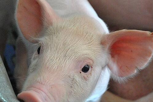 功能基因组学研究助力我国猪育种发展