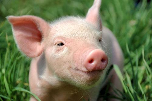 解密:当前生猪屠宰企业如何盈利?