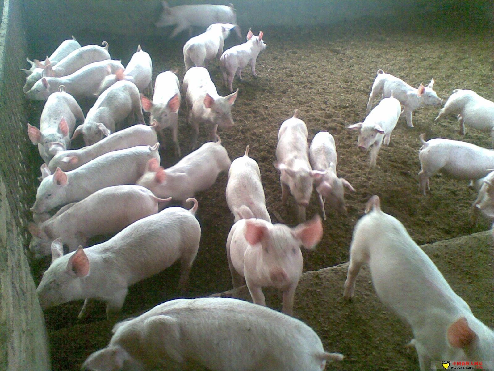 养猪未来:成本最低者会是赢家