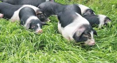培育中国自己的种猪已经迫在眉睫