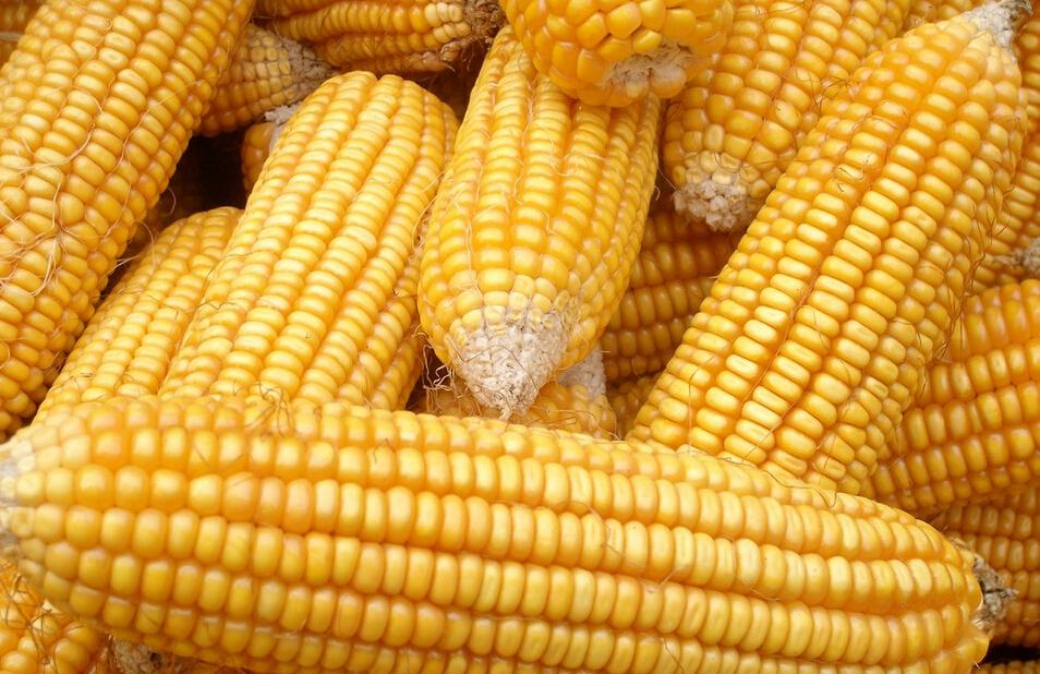 全国玉米价格下跌20% 猪肉价格终结6连涨