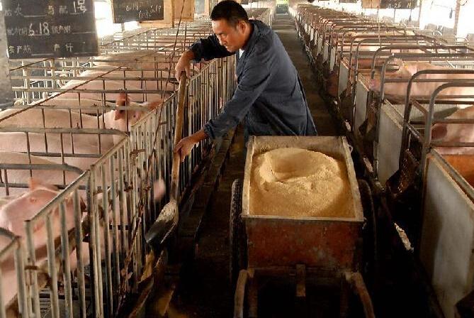 生猪和玉米价格双降 猪粮比依然高位