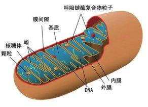 中国农大:证明猪品种间差异存在线粒体基因效应