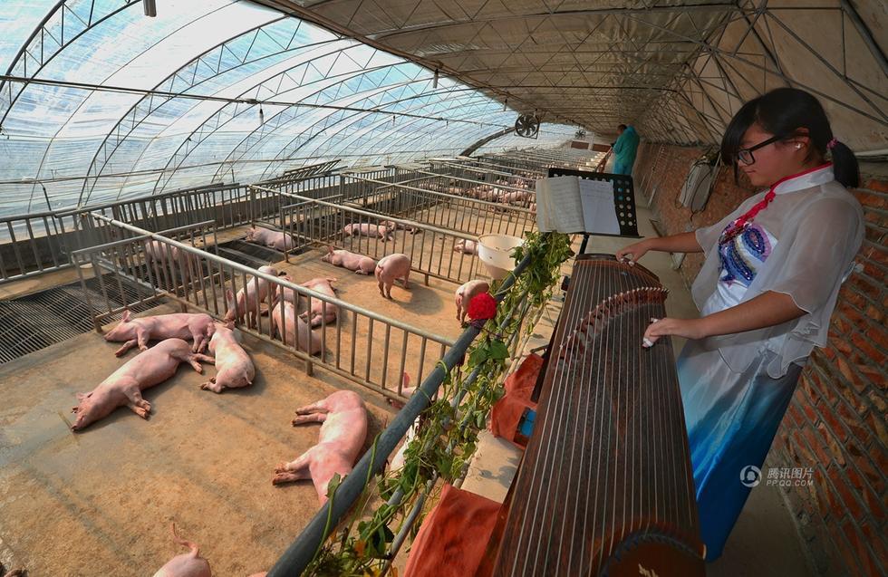 """北京农学院养猪基地上演""""对猪弹琴"""""""