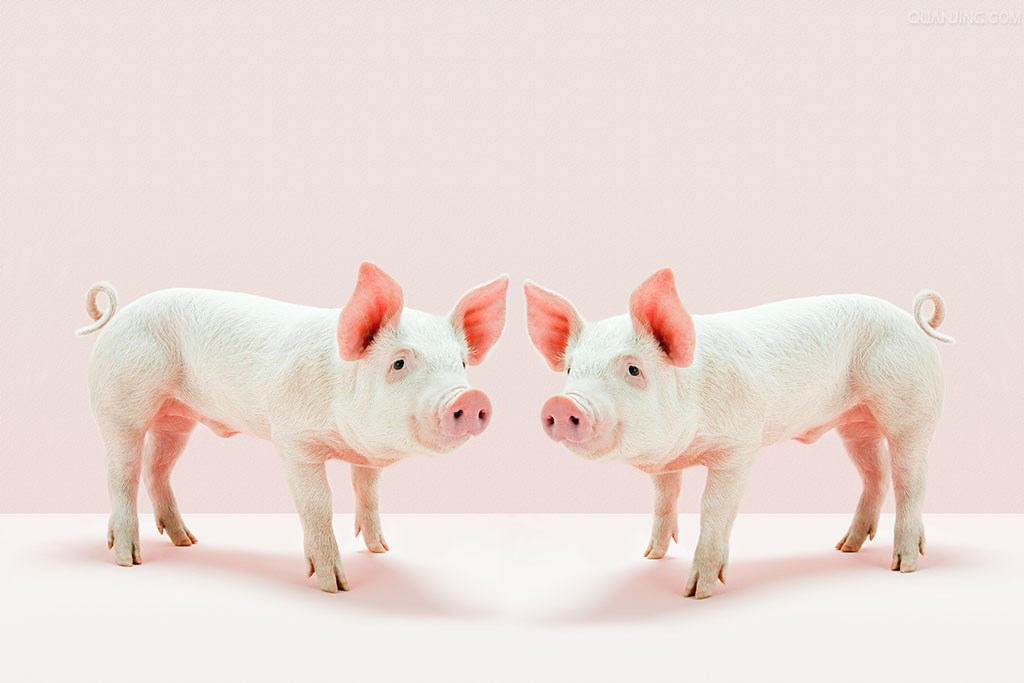 短期生猪行情低迷原因在哪?