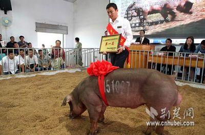 """""""猪王""""身价为何连年下降 生猪市场尚在恢复"""