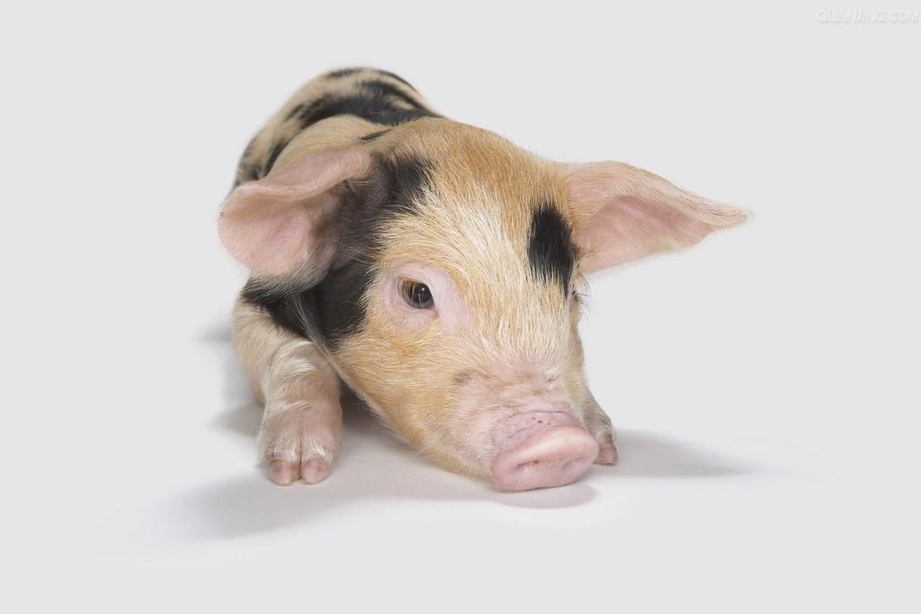 养猪场使用火碱消毒注意事项
