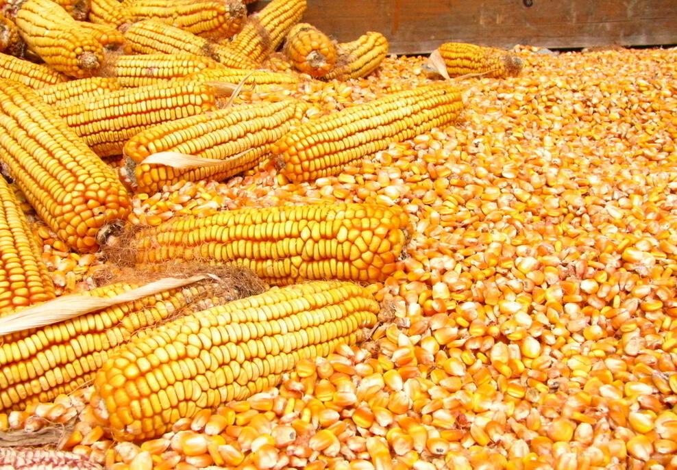 玉米价降至7毛多  养猪人该高兴吗?
