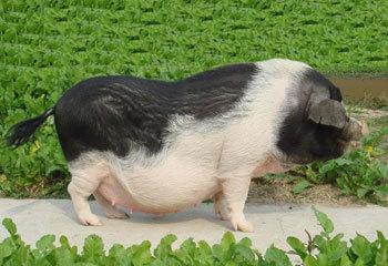 宁乡花猪打入韩国市场 签下1.5亿订单