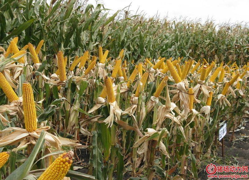 政策落定,玉米产业链料将深度整合