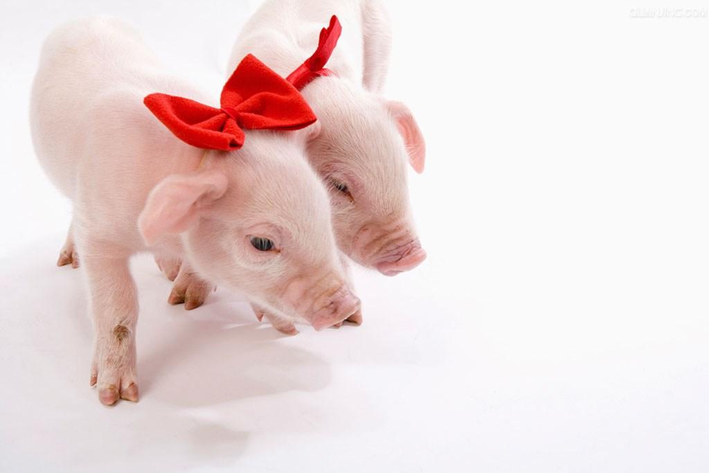"""猪价涨迹明显,猪市""""春天""""已然来临!"""