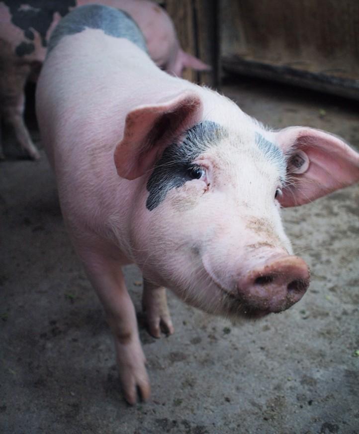 猪吃饭可爱图片