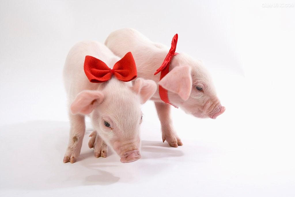 冬季养猪要注意猪的五怕