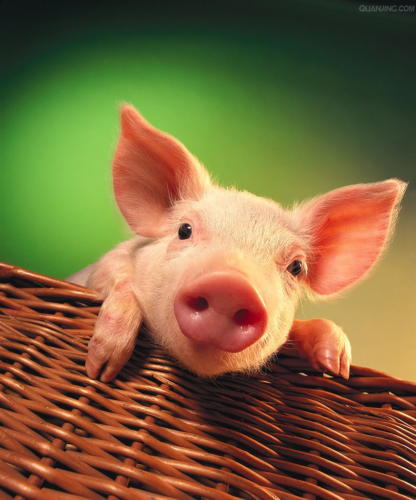 猪场冬季冷应激,为什么加温了还是不行?