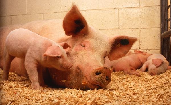 全国养猪100强县,快来看你们那入选没?