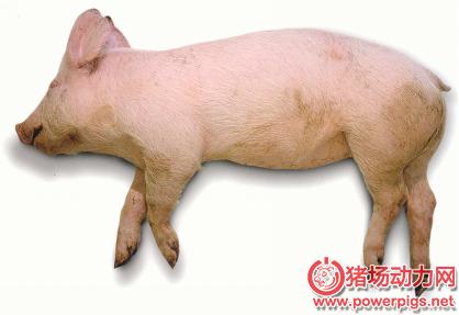 猪气喘病疫苗打破国外垄断