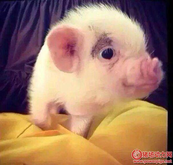 研究:猪的生物钟比人类的快 一周只有5天
