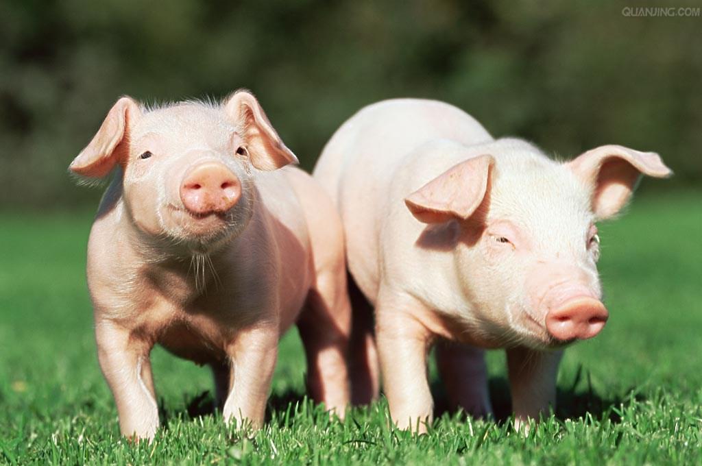 生猪价格持续上涨 养殖业步入高景气