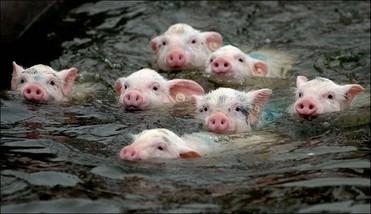 天邦与河北铭福隆合作500万头生猪项目