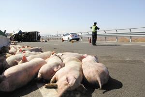 货车侧翻 群猪摔落 大都一动不动躺在地上忘记逃生