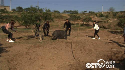 专业军人的养猪故事:差点被猪拱掉的财富