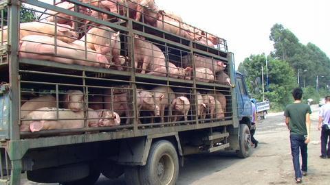 农业农村部:非洲猪瘟疫情对猪价总体走势影响不大