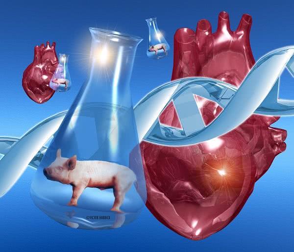 你能接受吗? 猪的心脏或将可以移植给人类