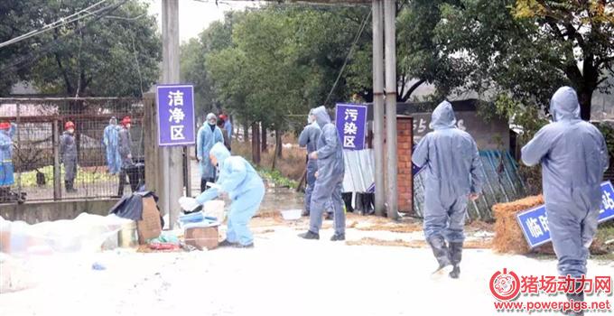 上海疫情,疫区内的3212头生猪昨天已全部扑杀完毕