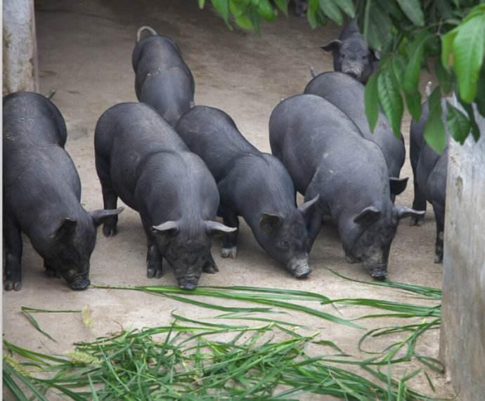 绿母山猪业有限公司在江南区同良村挂牌成立,占地5000亩投资4亿,年出栏50万头