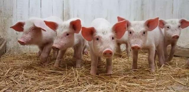 新一轮猪业变革提前到来,做好这四方面的准备