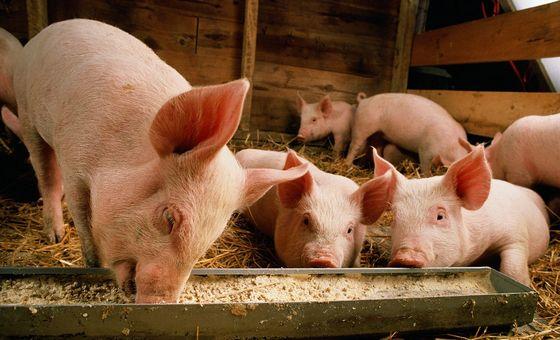 海口海关:春节期间将严密做好非洲猪瘟防控工作