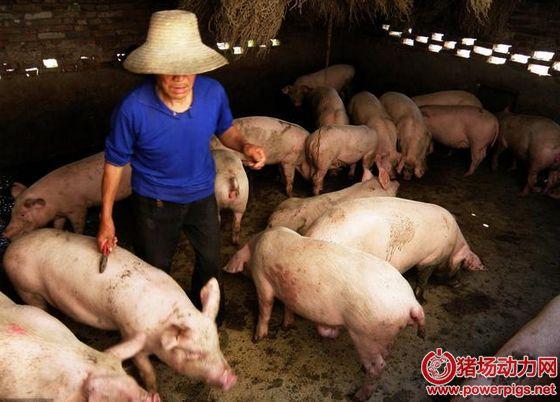 农村散养户很难过,现在的规模化猪场日子更难过!