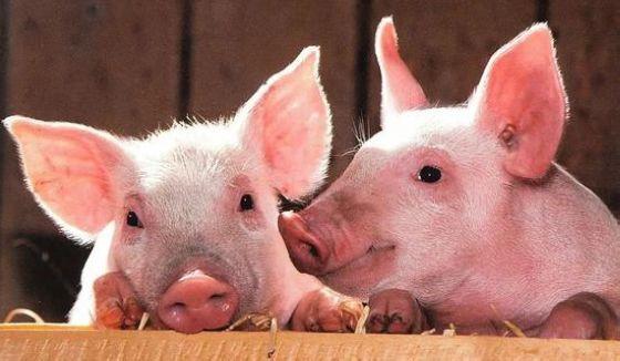 日本猪瘟疫情扩大 农林水产省暂不考虑施打疫苗