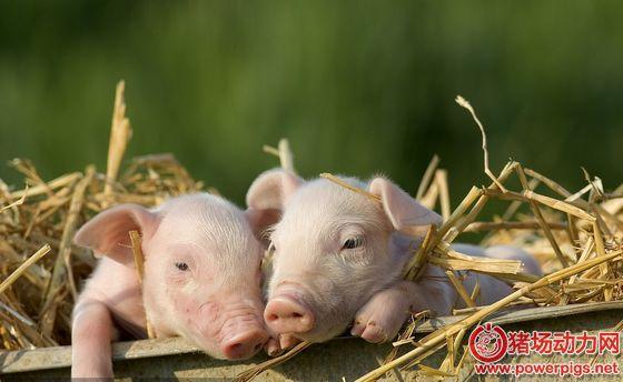 """非瘟下的生猪产业:产能加速清退 """"金猪""""拐点将提前杀到"""